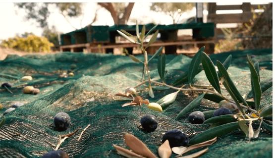 La raccolta delle olive. Il video di un momento pieno di ...